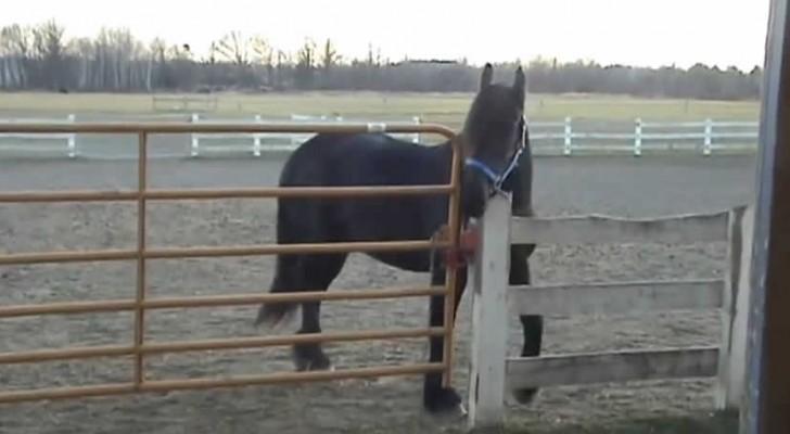 Toen ze erachter kwamen wie de paarden bevrijde konden ze hun ogen niet geloven