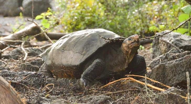 Après plus de 100 ans, une tortue géante considérée comme éteinte est réapparue aux Galapagos