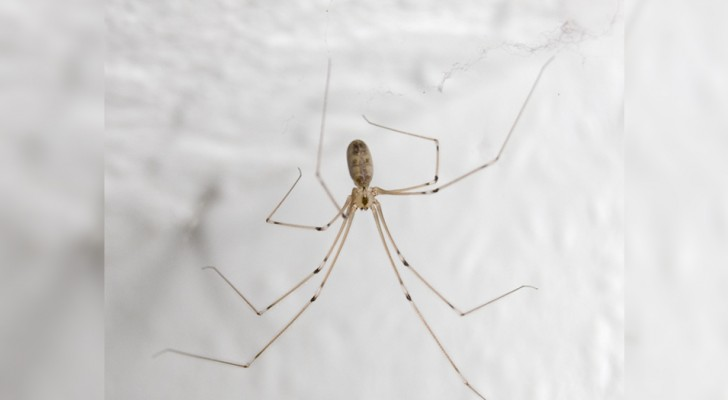 Wir alle haben sie im Haus, aber es gibt etwas, das wir über diese Spinnen wissen müssen