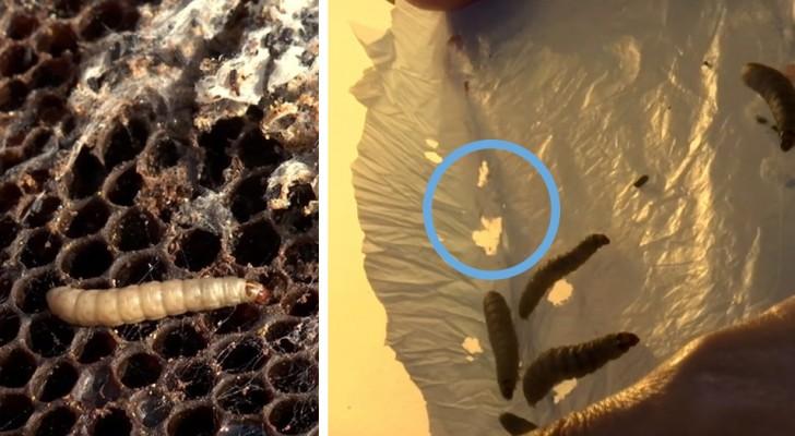 Eine italienische Biologin entdeckte zufällig Larven, die Plastik fressen