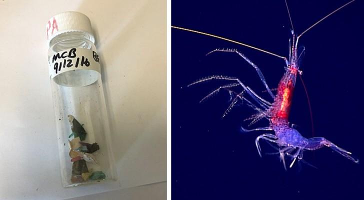 La plastica non risparmia nemmeno gli abissi: trovati animali contaminati nella fossa delle Marianne