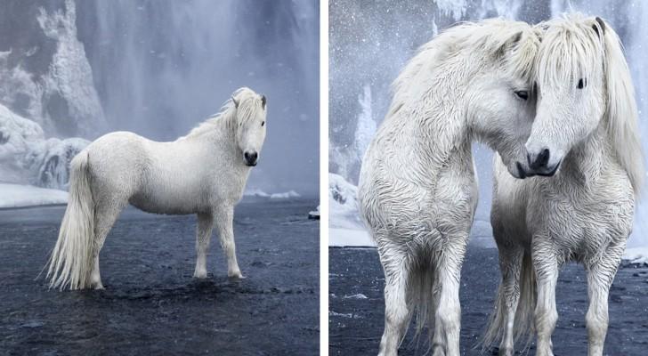 Ein Fotograf nimmt großartige Bilder von Pferden auf, die in die epische Landschaft Islands eingetaucht sind