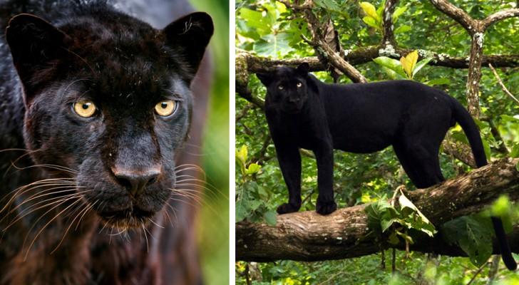 Ein schwarzer Leopard, der zum ersten Mal seit über 100 Jahren wieder in freier Wildbahn zu sehen ist