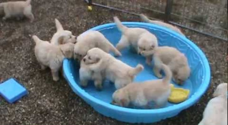 These sweet puppies are impatient when the pool is not filled !