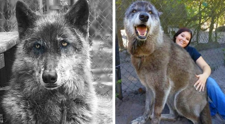 The owners abandon it at an animal shelter because it is too big and aggressive and a DNA test reveals that it is 87% Gray wolf