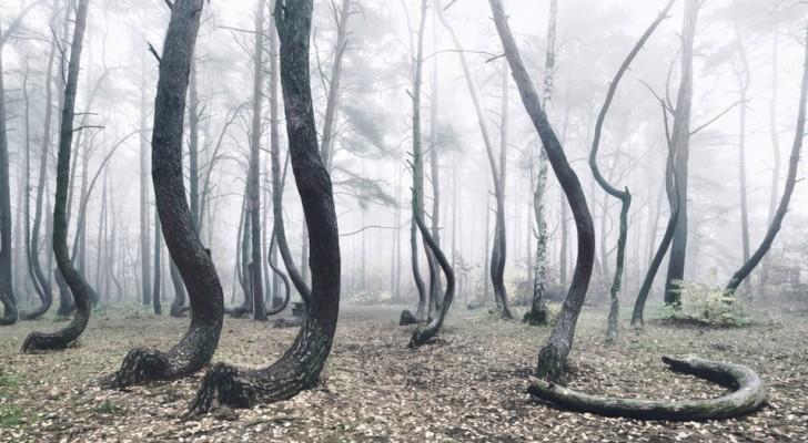 En Pologne, il existe une forêt d'arbres tordus : son origine reste encore aujourd'hui un mystère