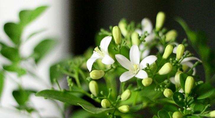 Gli incredibili benefici che si ottengono tenendo in casa una pianta di gelsomino