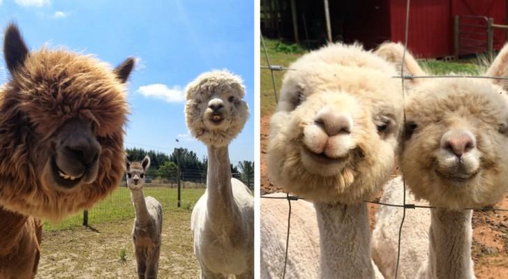 21 photos d'alpagas qui vous feront sourire même dans les mauvais jours