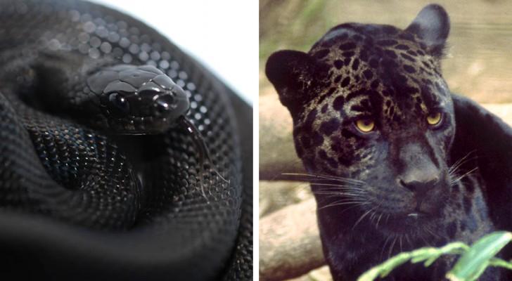 11 dieren die het melanisme meer zwart maakten dan de nacht, met een verbazingwekkend effect