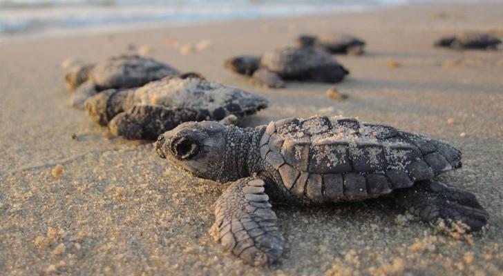 Die Schildkrötenjungen sind nach Mumbai zurück gekehrt, nach
