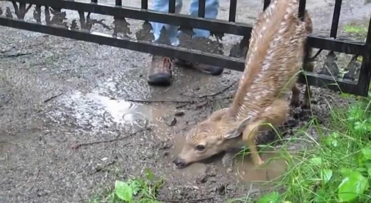 Le sauvetage du bébé cerf coincé dans un grillage