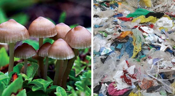 Gli scienziati hanno scoperto un fungo mangia-plastica che potrebbe ripulire le nostre discariche