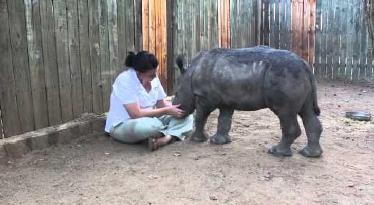 Le rhinocéros orphelin veut des câlins