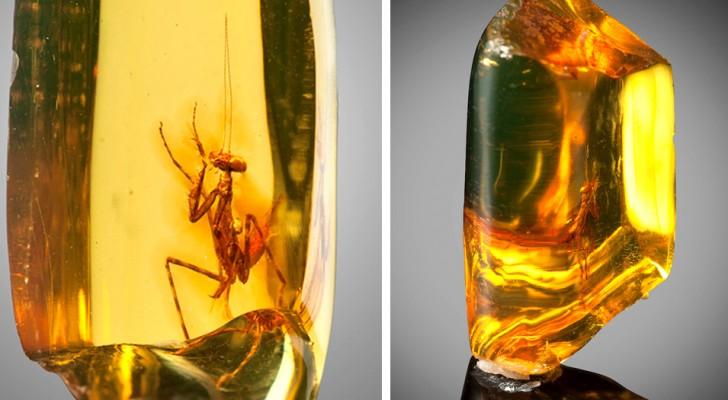 Una mantide religiosa intrappolata nell'ambra 30 milioni di anni fa: eccola in tutta la sua bellezza