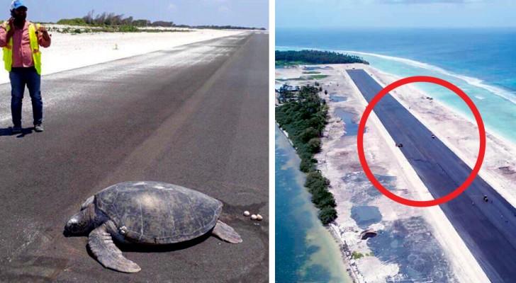 La tortue retourne sur la plage pour y pondre ses œufs, mais c'est une piste d'atterrissage qu'elle retrouve