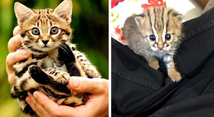 Questo è il gatto più piccolo del mondo: vive in India e può stare nel palmo della vostra mano
