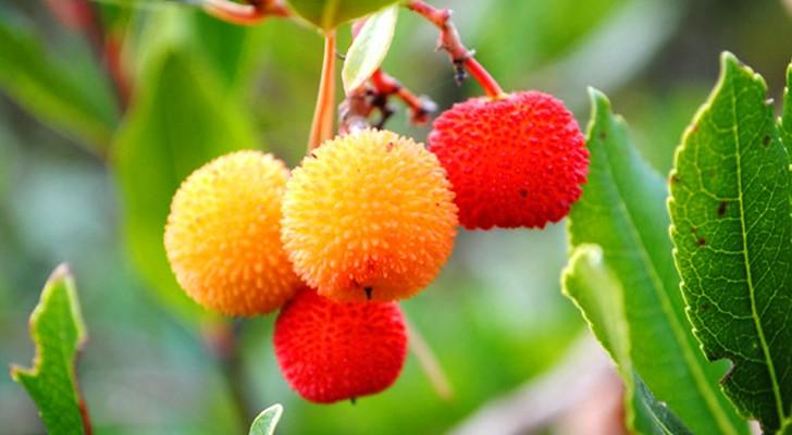 Viene a menudo subestimado pero está entre las frutas mas sorprendentes: aqui todos los beneficios del arbutus