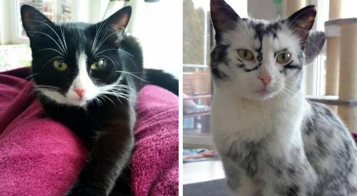 Elli, de zwarte kat die wit wordt vanwege een zeer zeldzame aandoening