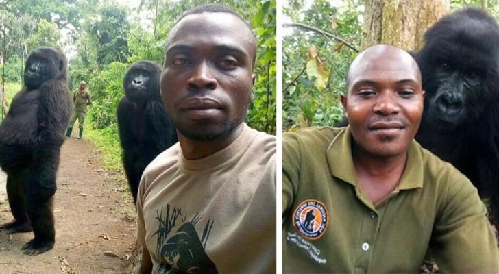 Gorilla's die de stroperij hebben overleefd poseren om selfies te maken met parkwachters in Congo