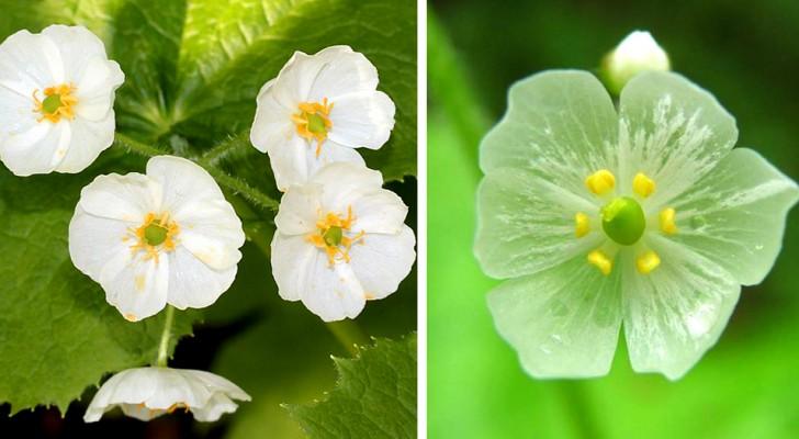 Questi fiori diventano trasparenti al contatto con l'acqua: la loro trasformazione è incredibile