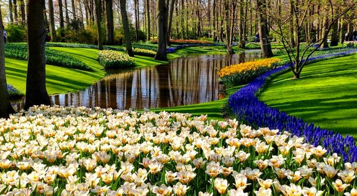 Il parco di Keukenhof in Olanda: 4 milioni di tulipani in fiore emozionano i turisti di tutto il mondo