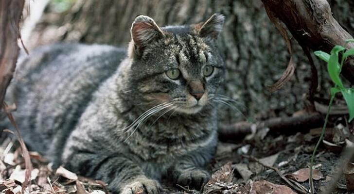 L'Australia vuole eliminare 2 milioni di gatti lanciando salsicce avvelenate dagli aerei