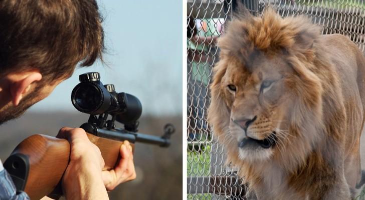Leoni cresciuti nelle gabbie e poi uccisi per diletto da cacciatori paganti: svelata un'orrenda realtà