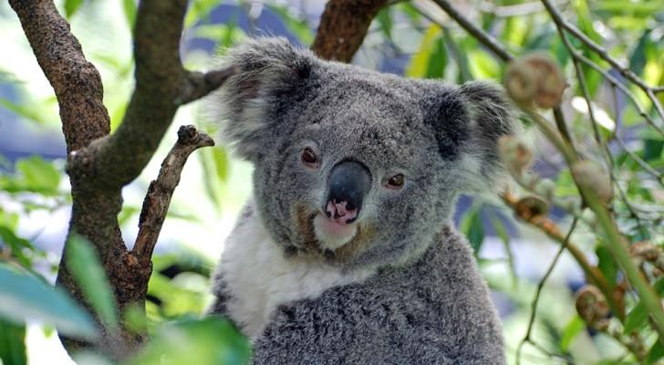 Forscher erklären Koalas für