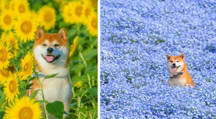 Le foto di questo cane in estasi tra i campi fioriti sono una più bella dell'altra: ve ne innamorerete all'istante!