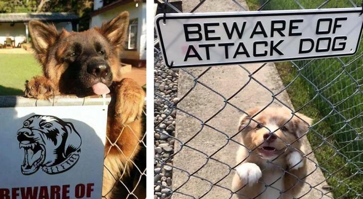 20 hilarische foto's van bedreigende honden gefotografeerd achter het bord Pas op voor de hond
