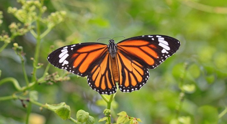 3 ettari di bosco in una riserva per farfalle monarca sono stati rasi al suolo per far spazio a piantagioni di avocado