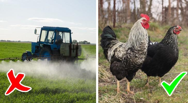 Questa azienda agricola ha deciso di utilizzare galline al posto dei pesticidi, e i risultati sono sorprendenti