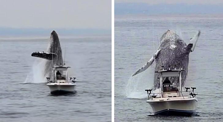 Una megattera gigantesca salta fuori dall'acqua sfiorando un'imbarcazione: il video è spettacolare