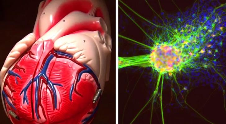 Sie entdecken Stammzellen, die das Herz nach einem Herzinfarkt