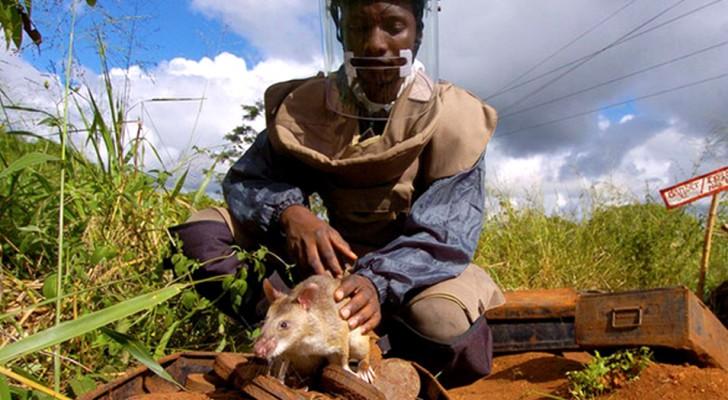 Le précieux travail des rats anti-mines, les petits héros qui sauvent des milliers de vies dans le monde entier