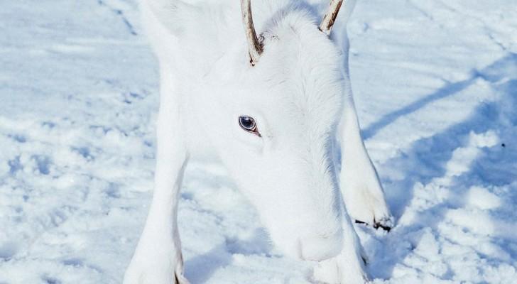 Un fotografo fortunato si ritrova faccia a faccia con un rarissimo esemplare di renna bianca: eccolo in tutto il suo candore