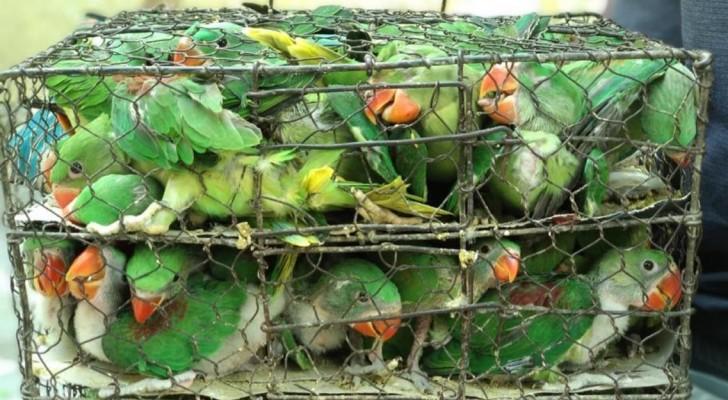 Sauvé plus de 500 oiseaux entassés dans de minuscules cages attendant d'être vendus comme animaux de compagnie