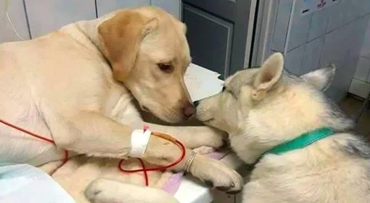 In this clinic, there is a special assistant who comforts the other dogs during their operations