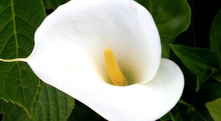Die Calla: Hier sind ihre Ursprünge und warum sie als die eleganteste Blume von allen gilt
