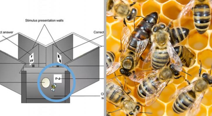Le api sono capaci di collegare i simboli ai numeri: nuovi test rivelano un cervello super-matematico