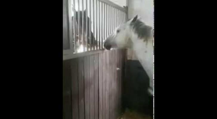 Regardez comment ce cheval aide son compère (au régime) pour manger. Les coquins!