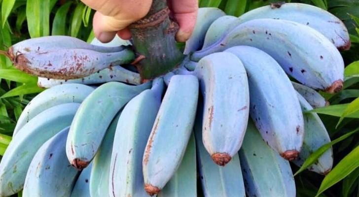 Java-Banane: die leckere blaue Frucht, die nach Vanilleeis schmeckt