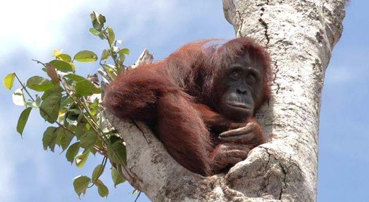 Un orango in dolce attesa si rifugia in cima all'ultimo albero mentre le ruspe distruggono la sua foresta
