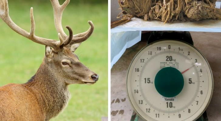 Dierenartsen vinden een hert met 4 kilo plastic in zijn maag: de schuld is van onbeschaafde toeristen