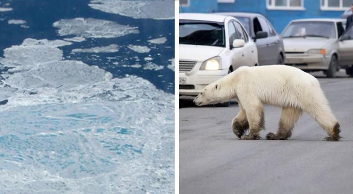 Questa orsa polare ha viaggiato per 1600 chilometri in cerca di cibo: era così debole che a malapena poteva muoversi