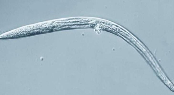 Diese gefrorenen Würmer erwachten nach 40.000 Jahren