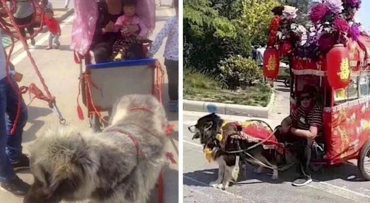 Die Mode des Hundetaxis, ein absurder Brauch, der sie zwingt, Wagen voller Menschen zu ziehen