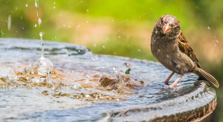 Vogels hebben veel moeite om vers water te vinden in de zomer, dit is wat je kunt doen om hun leven te redden