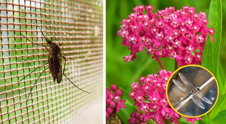 Laten de muggen je niet met rust? Door deze planten te laten groeien, heb je misschien een onverwachte bondgenoot