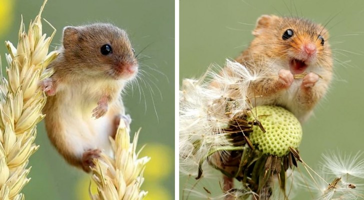 Un fotografo immortala la vita segreta dei topolini delle risaie: le immagini sono un mix di fascino e tenerezza